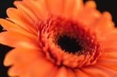 textura květina oranžová gerbera, izolované na černém pozadí