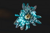 Fotografie top view of blue and white flower, isolated on black
