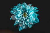 Photo close up of flower with blue and white petals, isolated on black