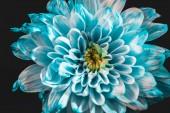 zblízka krásné modré a bílé Daisy, izolované na černém pozadí