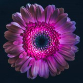 Photo top view of violet gerbera flower, isolated on black