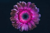 Photo top view of gerbera flower with purple petals, isolated on black