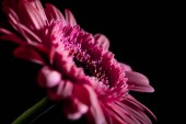 Fotografie selective focus of beautiful pink gerbera flower, isolated on black