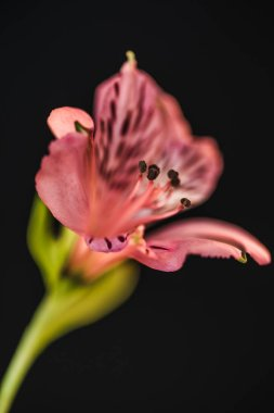 close up of beautiful pink alstroemeria flower, isolated on black