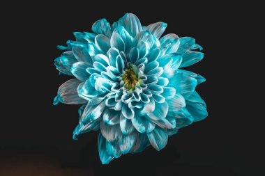 close up of flower with blue and white petals, isolated on black