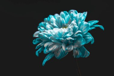 close up of blue and white flower, isolated on black