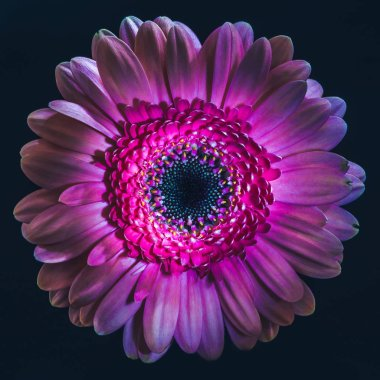 top view of violet gerbera flower, isolated on black