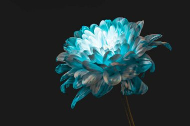 close up of blue and white daisy, isolated on black