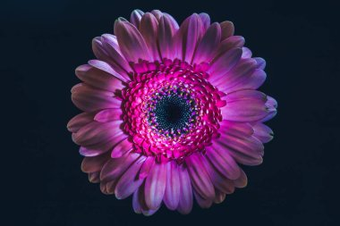 top view of gerbera flower with purple petals, isolated on black