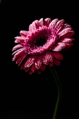 close up of fresh pink gerbera with drops on petals, isolated on black