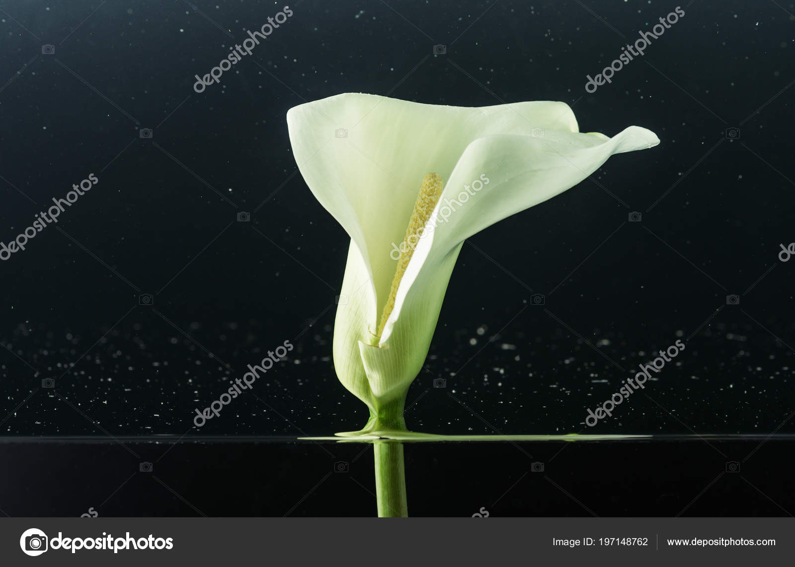 Close View Beautiful Tender White Calla Lily Flower Water Black