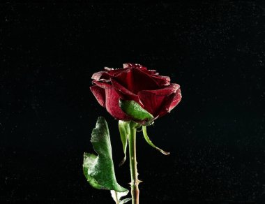 close-up view of beautiful blooming red rose flower on black