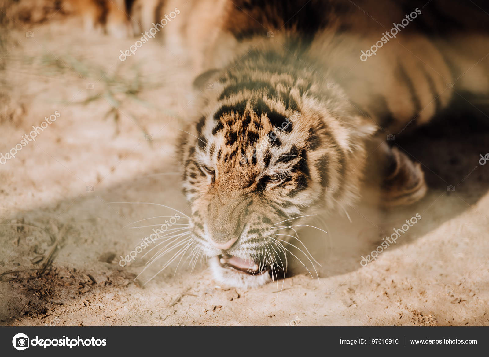 Close view cute tiger cub zoo stock photo vadimvasenin 197616910 close up view of cute tiger cub at zoo photo by vadimvasenin thecheapjerseys Image collections