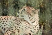 Fotografia Chiuda sulla vista di animale bello ghepardo riposa sullerba verde zoo