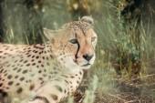 close up view of beautiful cheetah animal resting on green grass at zoo