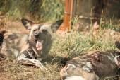 zblízka pohled hyaenas na zem v zoo