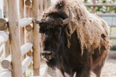 Photo close up view of wild buffalo at zoo