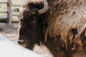 Photo close up view of wild bison at zoo