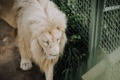 Fotografie close up view of beautiful african white lion at zoo