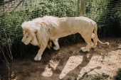close up view of beautiful african white lion at zoo