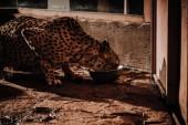 zblízka pohled gepard zvířat jíst jídlo v zoo