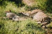 zblízka pohled krásné gepard zvířat na zelené trávě v zoo