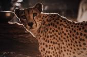 zár megjelöl kilátás gyönyörű gepárd állatok állatkertben