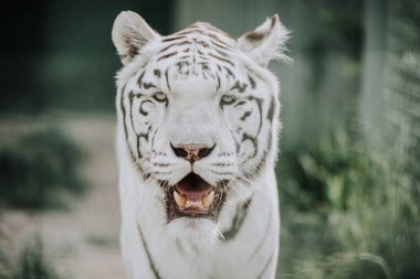 close up view of beautiful white bengal tiger at zoo