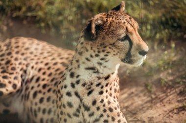 Close up view of beautiful cheetah animal looking away at zoo stock vector