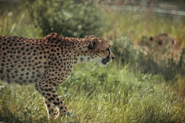 close up view of beautiful cheetah animal at zoo