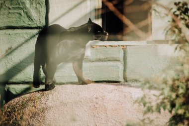 selective focus of beautiful black panther at zoo