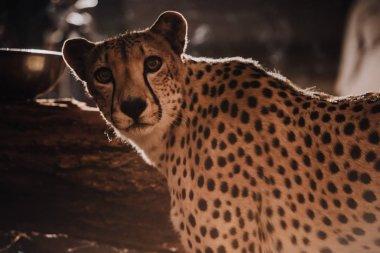 Close up view of beautiful cheetah animal at zoo stock vector