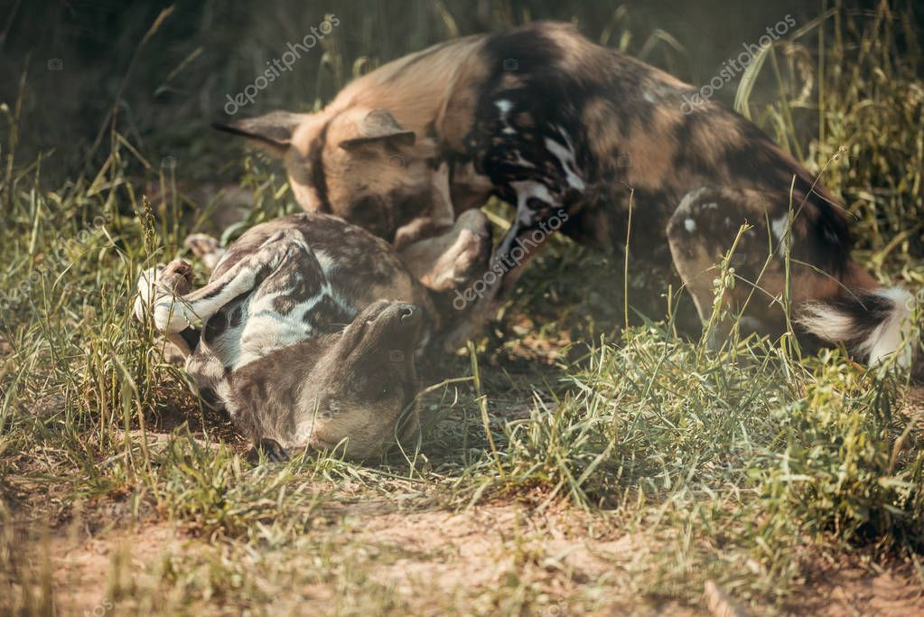 Close up view of hyaenas playing together at zoo stock vector