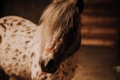 Fotografie selective focus of beautiful pony in standing stall at zoo