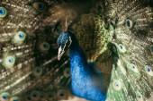 zblízka pohled na krásný Páv s barevné peří v zoo