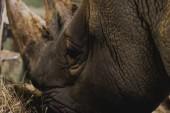 Photo close up view of safari rhino eating meal at zoo