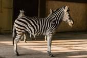 zblízka pohled na krásné pruhované zebry v zoo