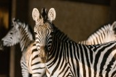 Photo close up view of beautiful striped zebras at zoo
