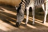 Photo close up view of beautiful striped zebra at zoo