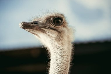selective focus of beautiful ostrich with blurred background