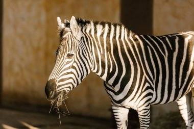 Close up view of beautiful striped zebra at zoo stock vector