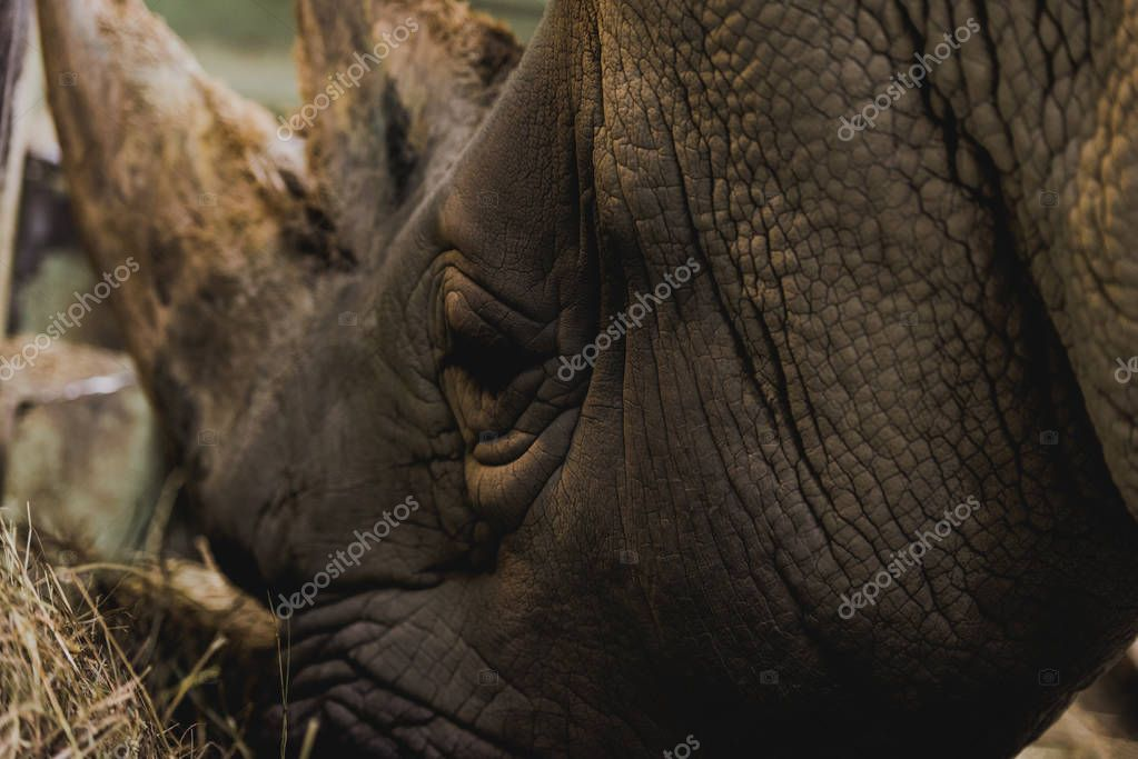 Close up view of safari rhino eating meal at zoo stock vector