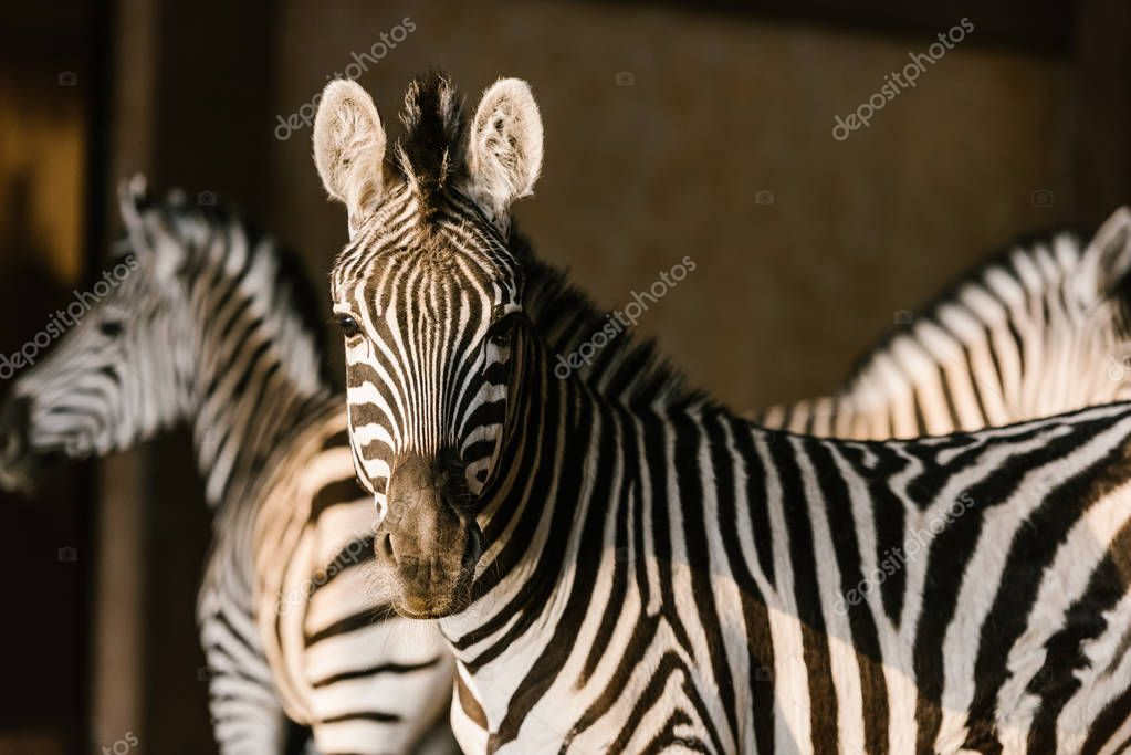 Close up view of beautiful striped zebras at zoo stock vector