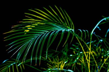 tropical green palm leaves, isolated on black