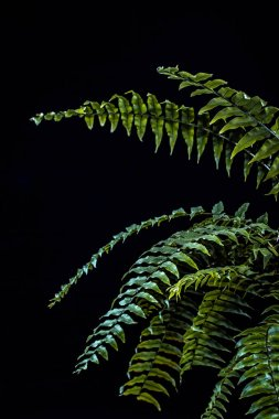 natural green fern leaves, isolated on black