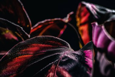 pink leaves of calathea plant with water drops, isolated on black