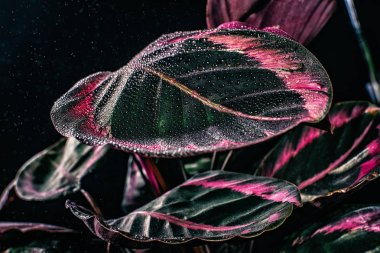 pink leaves of calathea plant with drops, isolated on black