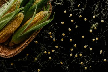 top view of fresh corn cobs in basket and grains isolated on black