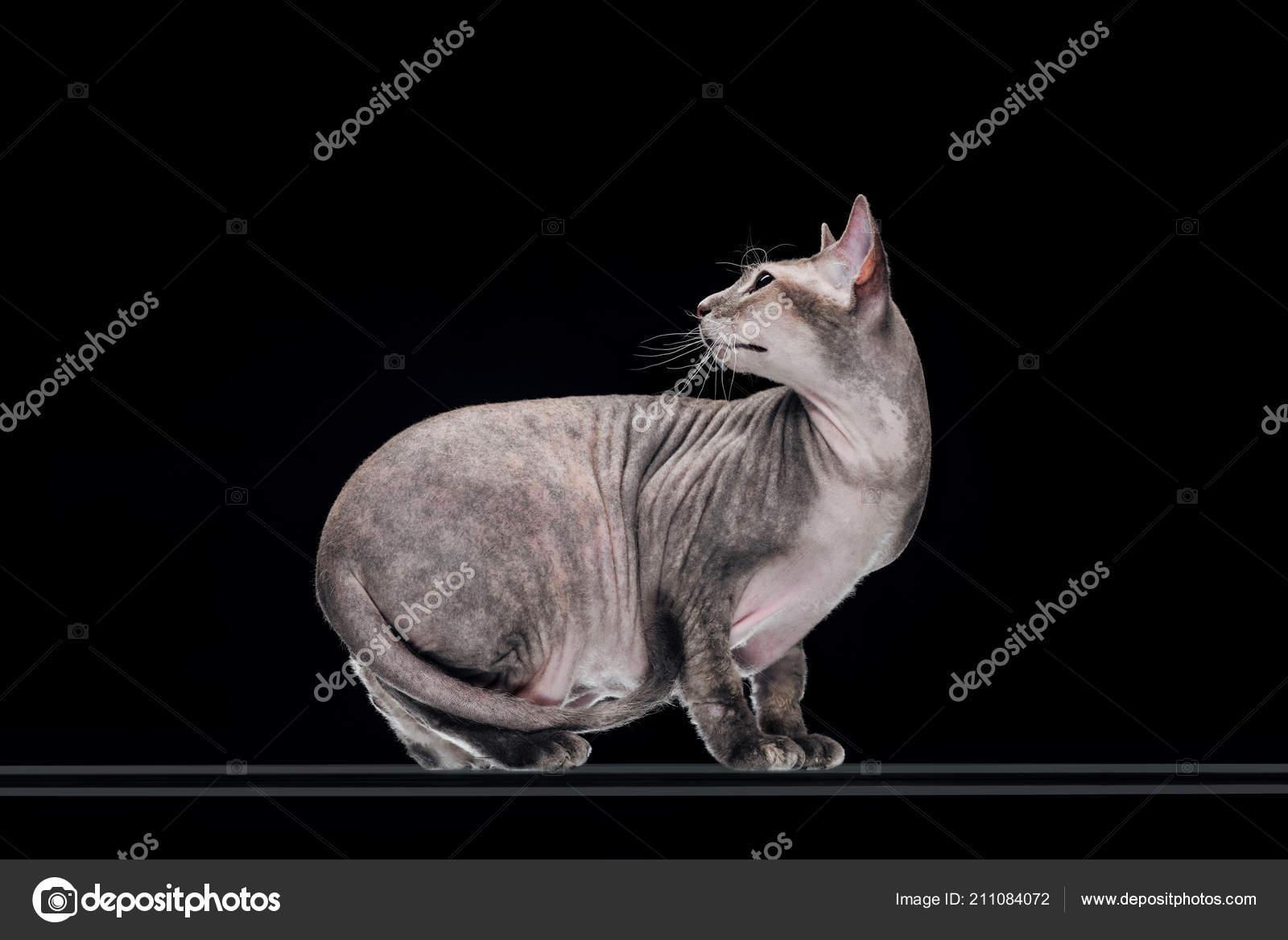 Plešatý kočička zblízka