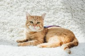Fotografie cute domestic red cat with leash lying on white soft carpet in living room and looking at camera